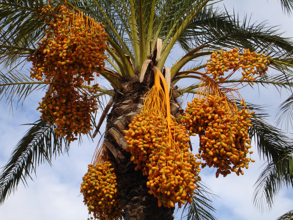 Best date palm fruit types in Kingdom of Saudi Arabia
