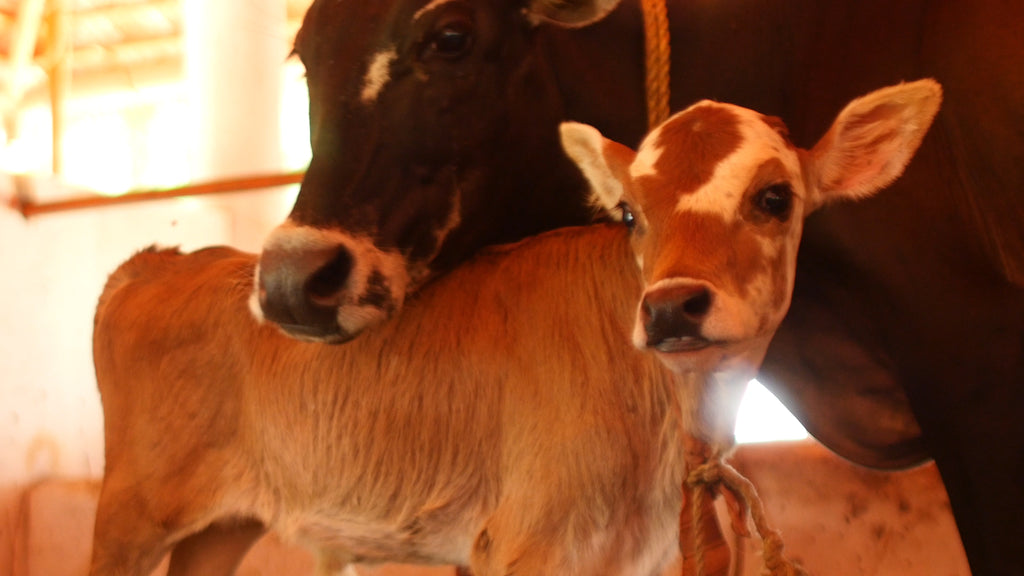 Momma and baby Vechur cow in Kerala, India where HANAH's Vechur Ghee is produced