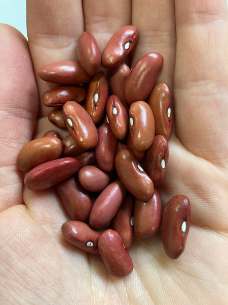 Kidney Dry Bush Bean CO