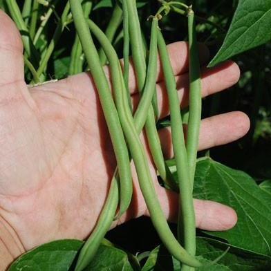 Maxibel Green Bush Bean