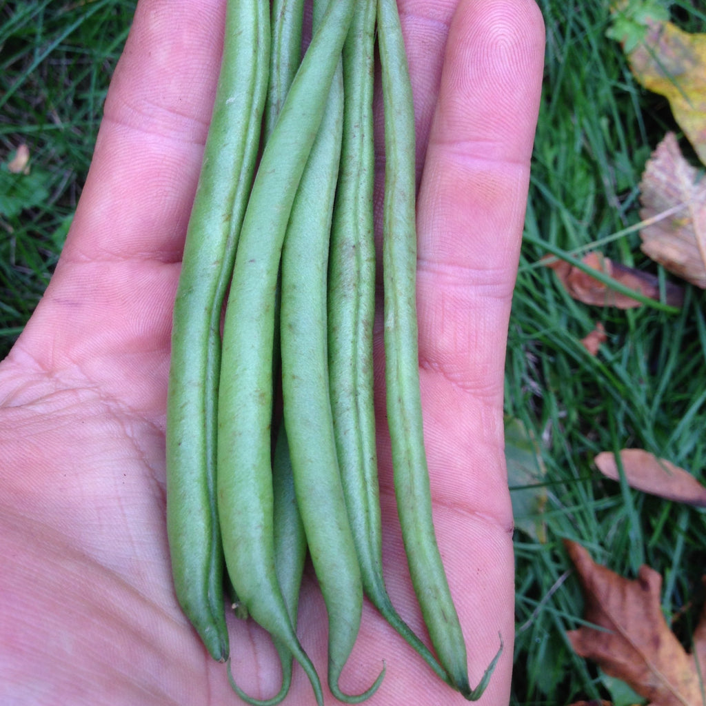 Straight & Narrow Bush Bean CO