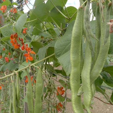 Scarlet Runner Pole Bean CO