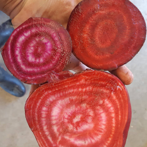 Golden Chioggia Beet CO