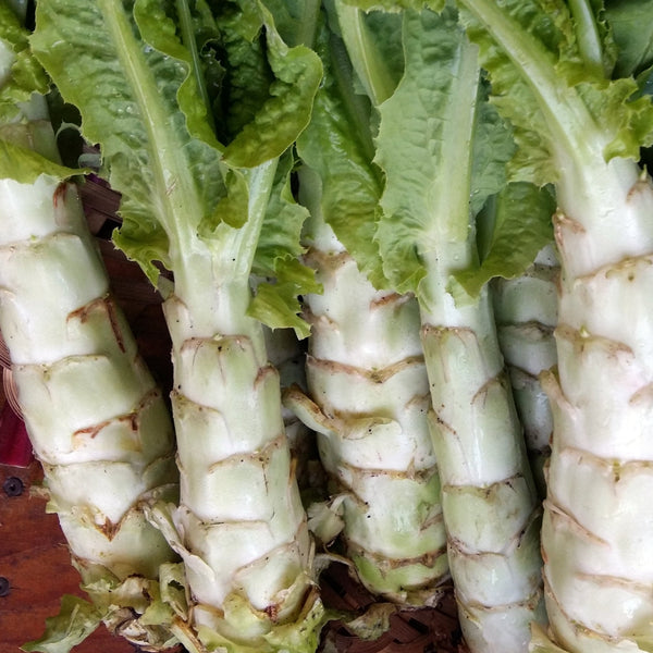 Angustana Celtuce CO