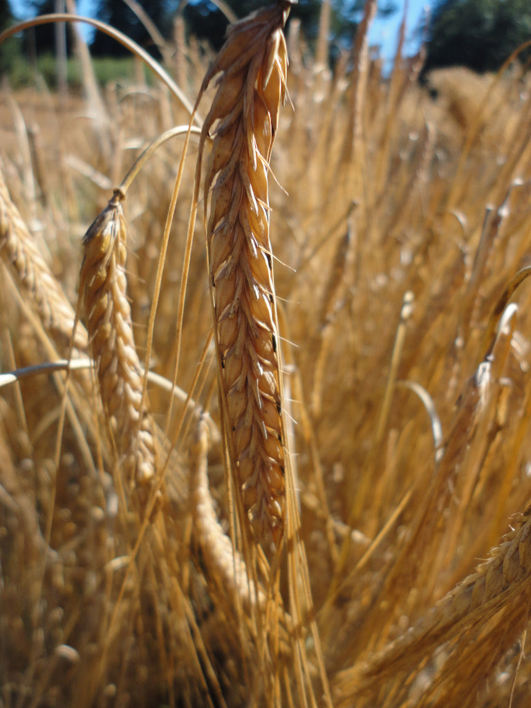 Harrington Malting Barley