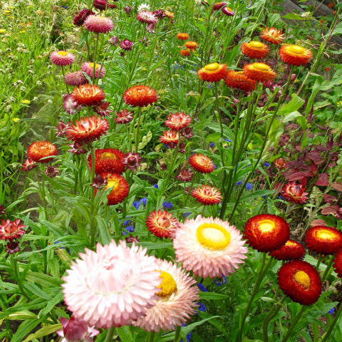 Strawflower Sultane Mix CO