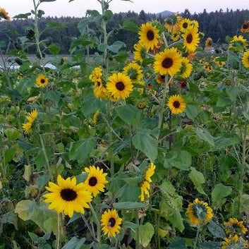 Saani O Sunflower Mix CO