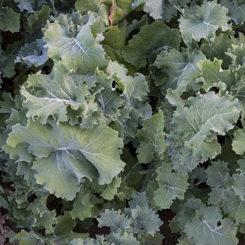 Grand Forks Siberian Kale CO
