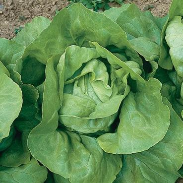 Nancy Buttercrunch Lettuce