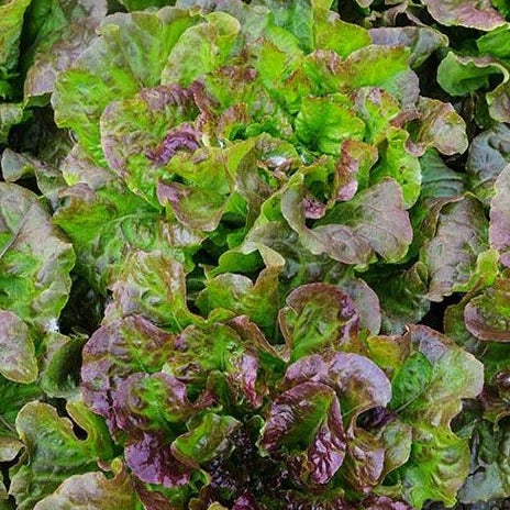 Red Mist Lettuce CO