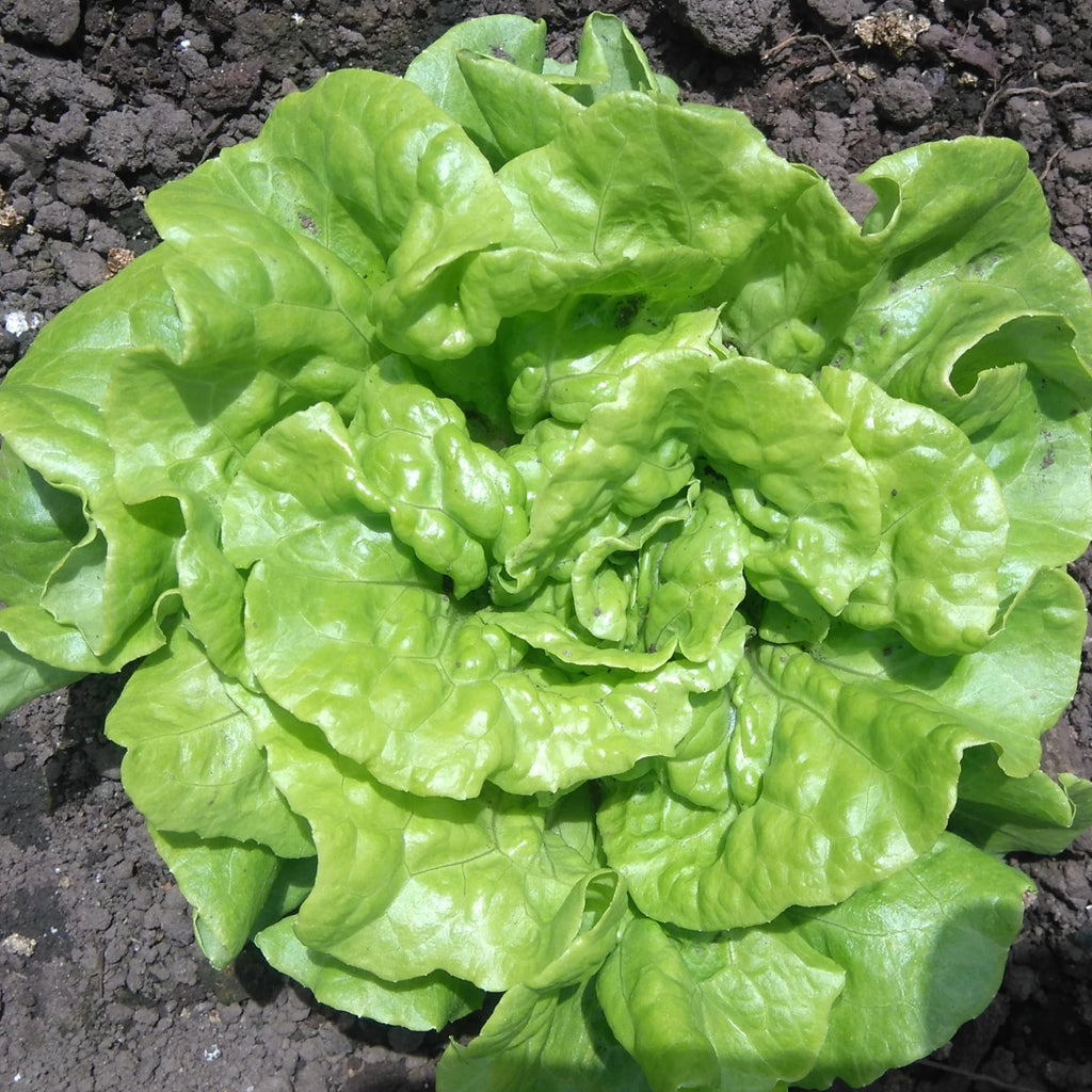 Tom Thumb Lettuce OG