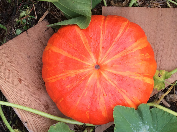 Rouge V'if D'Etampes Pumpkin TO