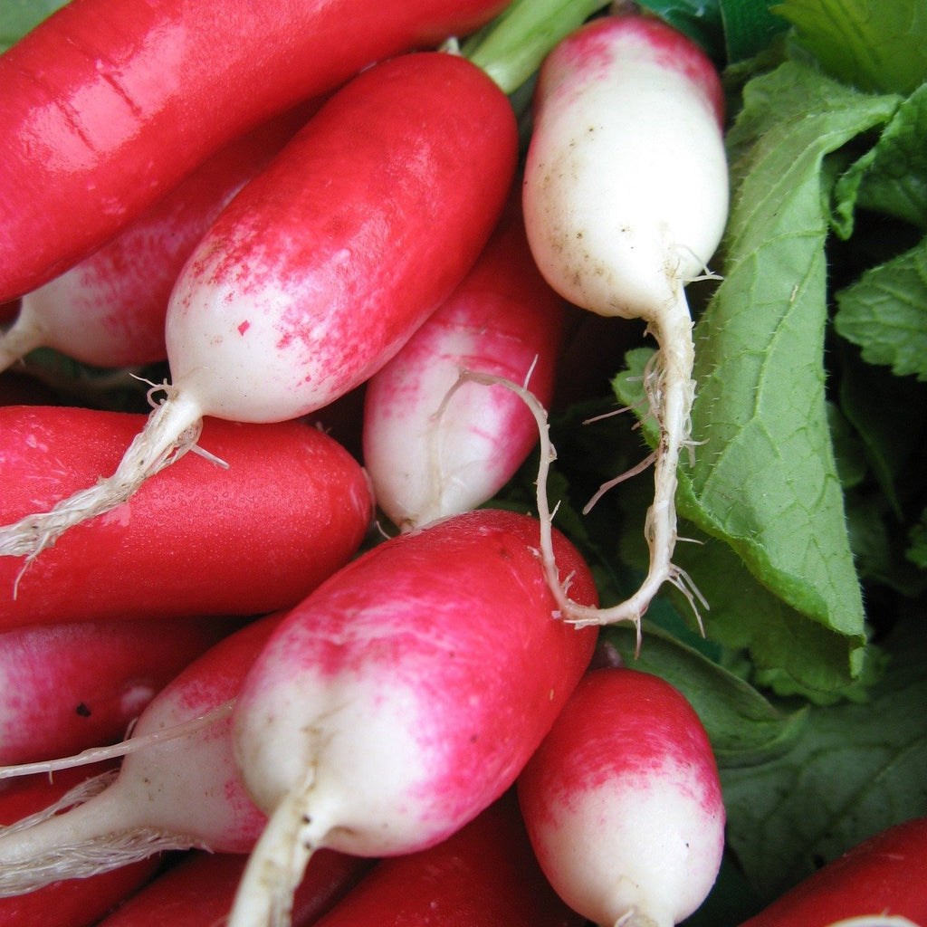 French Breakfast Radish OG