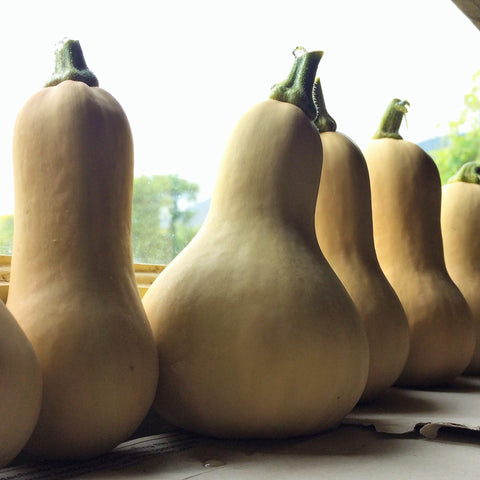 898 Butternut Squash CO