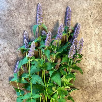 Blue Spike Hyssop CO
