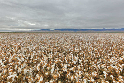 field of American Supima cotton with mountains in background