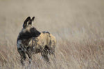 Wild Dog - Central Kalahari, Botswana