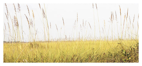 Pampus Grass 2
