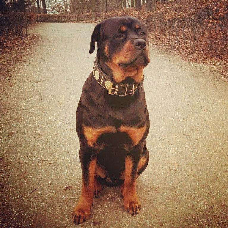 Rottweiler - calm, confident and courageous dog