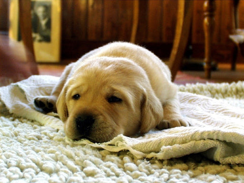 lab or golden retriever puppy laying on top of a blanket on top of a rug