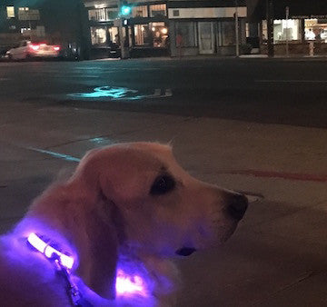 Glow In the Dark Dog Collars Aim to Keep Your Pup Safe at Night
