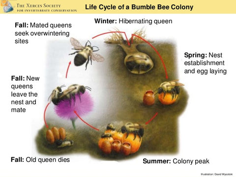 Bumblebee Colony Cycle