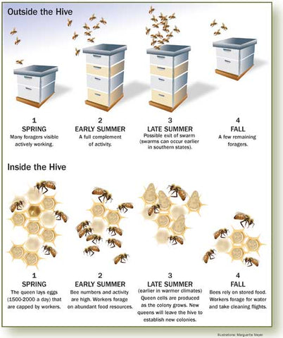 Honeybee Seasonal Activity