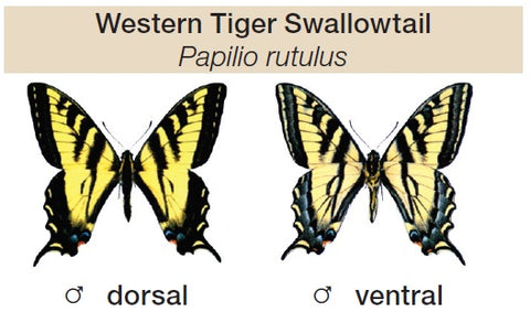 The Western Tiger Swallowtail (Papilio rutulus) – Queen Bee