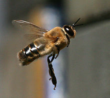 Drone Bee in Flight