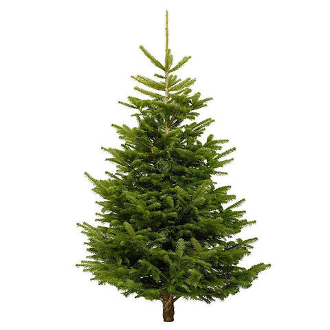 Fresh Cut Premium Nordmann Fir