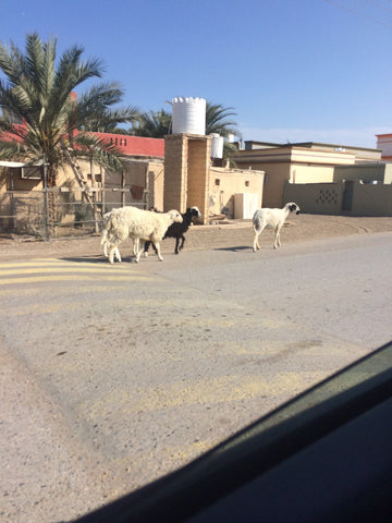 Goats - on the way to the start in Oman