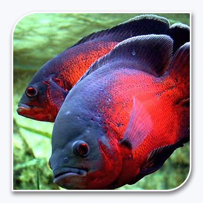 Cichlids (South/Central American)