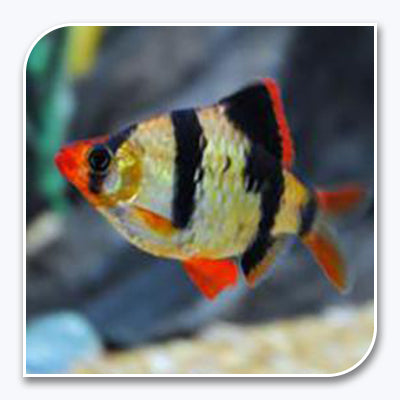 freshwater aquarium fish and invertebrates \u2013 the ifish storeAquari And Fish Pic #18