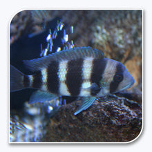 African Cichlid | Frontosa