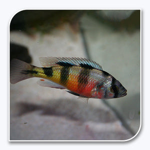 African Cichlid | Obiquidens