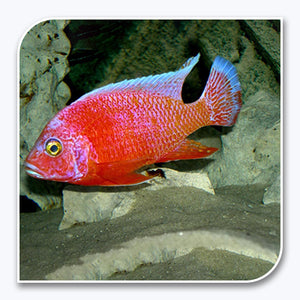 African Cichlid | Strawberry Peacock