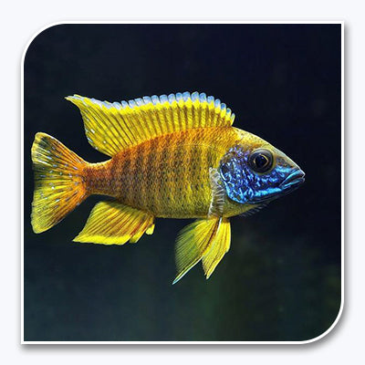 African Cichlid | Yellow Sunshine Peacock