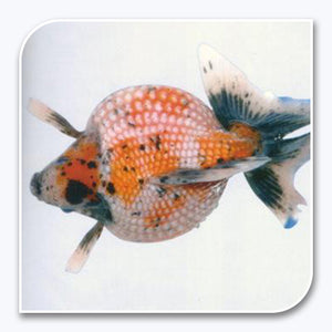 Goldfish | Calico Pearlscale