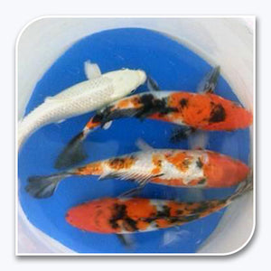 Koi | Assorted Imported Koi Fish