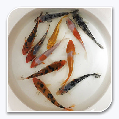 Koi | Assorted Imported Koi Fish | Bulk Packs (4