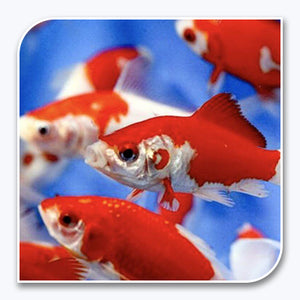 Goldfish | Red and White Sarasa Comet
