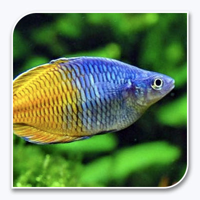 Rainbow Fish | Bosemani Rainbow