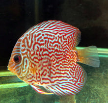 Discus | Snake Skin Discus