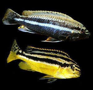 African Cichlid Auratus Cichlid Cichlids For Sale The Ifish Store