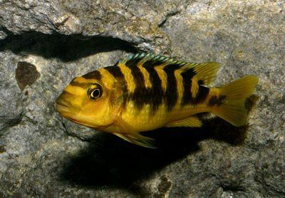 African Cichlid | Bumble Bee Zebra