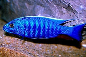 African Cichlid | Electric Blue Ahli