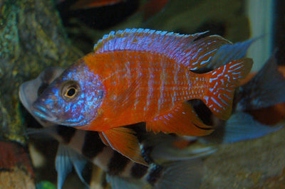 African Cichlid | Red Peacock