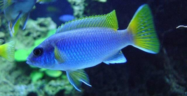 African Cichlid | Yellow Tail Acei