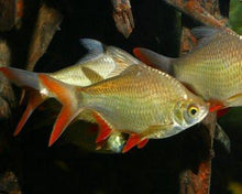Barb | Red Fin Tinfoil Barb