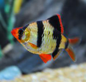 Aquarium Fish For Sale Barb Fish For Sale Lowest Pricing Online